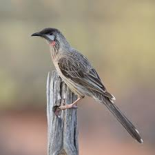 red wattlebird wikipedia