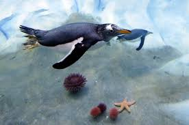 detroit zoo showcases new penguin habitat