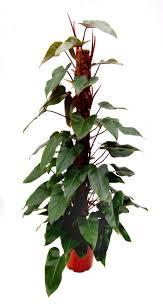 Indoor House Plant Philodendron Erubescens Kopparranka Indoor Jungle House Plants