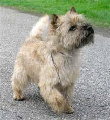 cairn terrier haircuts dogs blog dog blog blog archive cairn terrier grooming
