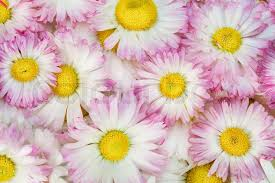 real flowers real pink daisies flowers macro background selective focus