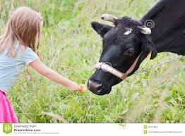 feeding cow royalty free stock images image 28767649