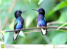 velvet purple coronet hummingbird royalty free stock photo image