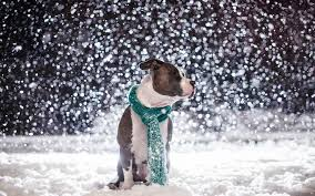cute dog christmas wallpapers cute pitbull dog wallpaper 6988459