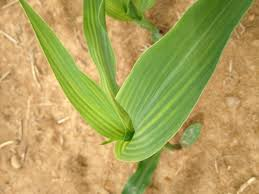 Deficiency Diseases In Plants - interveinal yellowing of corn u2013 weekly crop update u2013 cooperative