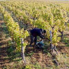 your next lesson value bordeaux analyzing the bordeaux 2017 harvest low yields and early harvests