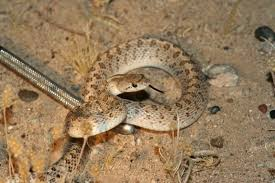 Where To Find Snakes In Your Backyard Non Venomous Snakes You May Find In The Desert Southwest