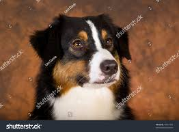 australian shepherd fabric portrait tricolour australian shepherd dog on stock photo 49651969