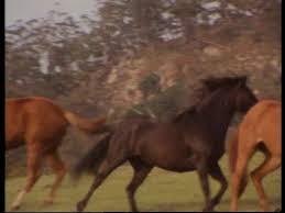 mustangs mating brumby running australia hd stock 989 648 694