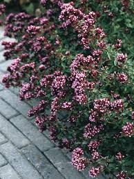 origanum herrenhausen bluestone perennials