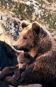 a tumultous year for the alps u0027 famous three wolves bears and