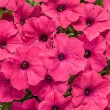petunia flowers supertunia vista fuchsia petunia hybrid proven winners