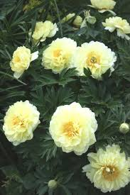Peonies For Sale 25 Best Ideas About Peonies For Sale On Pinterest Peony Plants