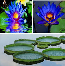 Fragrant Potted Plants - online shop 10pcs blue water lily lotus seeds beautiful aquatic