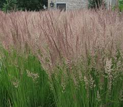 great grasses for minnesota gardens startribune
