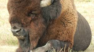 Bison Connect Department Of Interior President Obama Names Bison As National Mammal