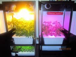 Hps Lights Led Vs Hps Grow Lights Showdown Hydroponic Tomato Grow Off In The