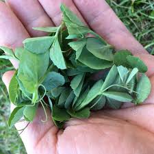 how to grow delicious austrian winter peas for winter greens
