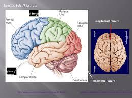 Image Of Brain Anatomy Gross Anatomy Of Human Brain