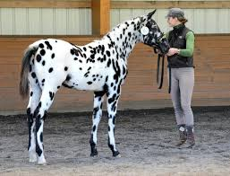 Are Horses Color Blind Best 25 Appaloosa Ideas On Pinterest Pretty Horses Horses And