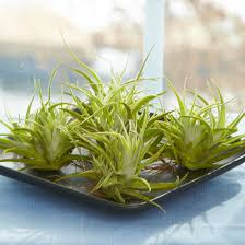 how to grow and care for air plants