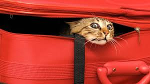 how to travel with a cat images Traveling with your cat tips for safe travel vetbabble jpg