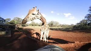 360 vr video of giraffe manor the safari collection kenya youtube