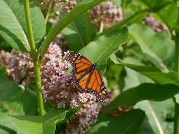 monarch butterfly migration texasbutterflyranch