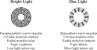 What Is A Reflex Action Example Eye