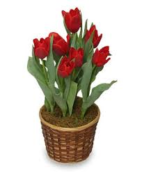 blooming plants potted spring tulips 6 inch blooming plant all house plants