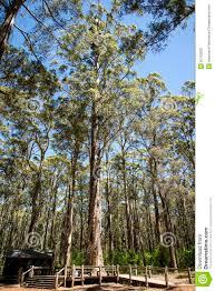 diamond tree for climbing near pemberton stock photo image 50762230