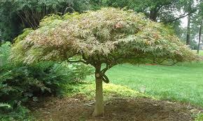 ornamental small tree pruning apex nc cary ny