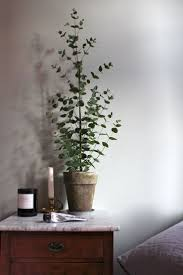can eucalyptus be grown indoors u2013 potted eucalyptus trees for the