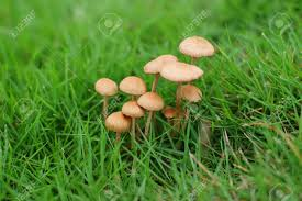 the rain is green grass grow a group of mushrooms stock photo