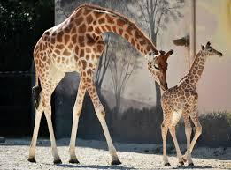 Giraffe Floor L April The Giraffe Toys R Us Wins More Views Than Beyoncé Fortune
