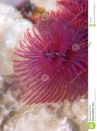 purple christmas tree worm stock photos image 13778583