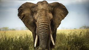 african elephant facts history useful information and amazing