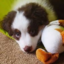 runnin c australian shepherds miniature american shepherd puppy furry friends pinterest