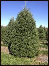 types of christmas trees u2014 unangst tree farms