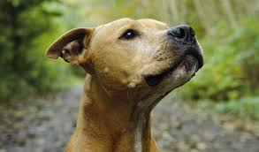 american pit bull terrier life expectancy american pit bull terrier breed information