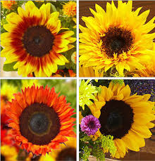 Life Cycle Of A Flowering Plant - life cycle of a sunflower petal talk