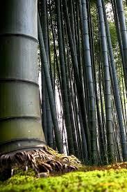 47 best bamboo species bamboe soorten en varieteiten bambous