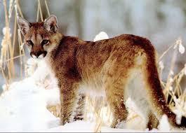 South Carolina wildlife images Eastern cougar does inhabit south carolina archives jpg