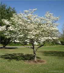 white flowering dogwood identifying dogwood trees 5 steps