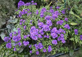 asters are the real stars of the fall garden pittsburgh post gazette