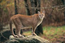 Alabama wildlife images Cougars possibly living in alabama says state wildlife biologist jpg