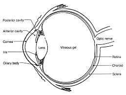 chikungunya virus infection of corneal grafts the journal of