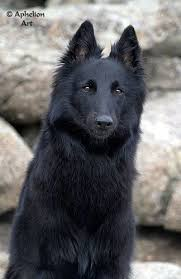 belgian shepherd wolf mix 625 best spirit of a wolf images on pinterest wolf animals and