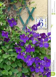 climbing plant purple flowers part 24 best 25 climbing