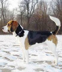 lifespan of a bluetick coonhound friends nature and bluetick coonhound on pinterest